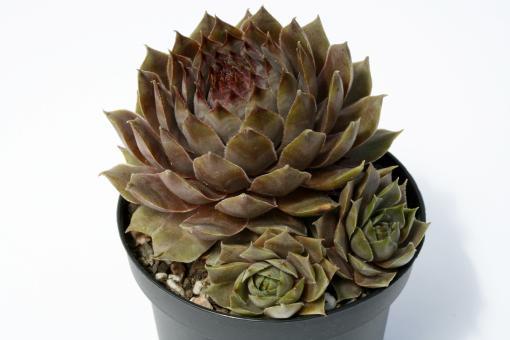 Sempervivum Monstrosum *1