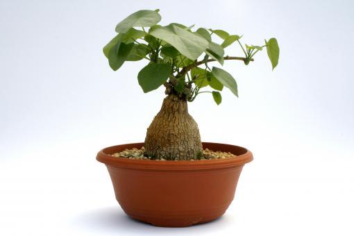 Stephania venosa Y. $