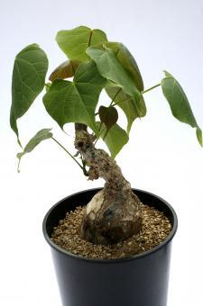 Sterculia colorata Y. $