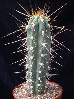 Stetsonia coryne %