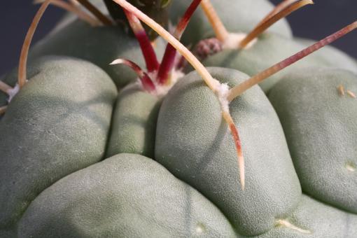 Thelocactus hexaedrophorus ssp. lloydii +