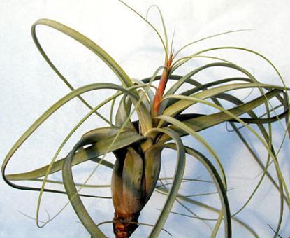 Tillandsia balbisiana Mexico, Venezuela, 0-1500m