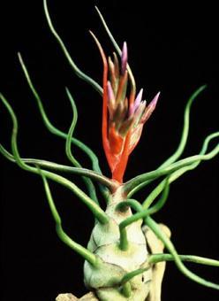 Tillandsia bulbosa Mexico, Venezuela, 1000-1200m