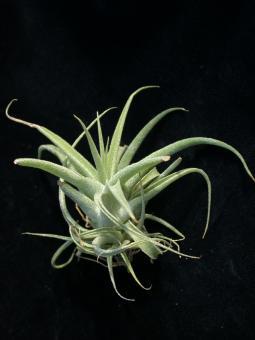 Tillandsia cacticola n. Peru, 200-2000m