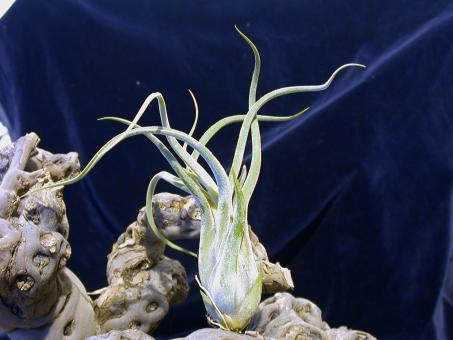 Tillandsia caput-medusae Mexico, Costa Rica, 0-2500m