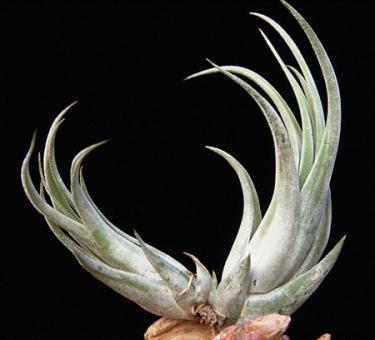 Tillandsia circinata Mexico, Costa Rica, 600-1500m
