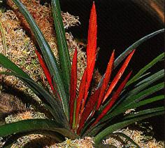 Tillandsia flabellata (green)