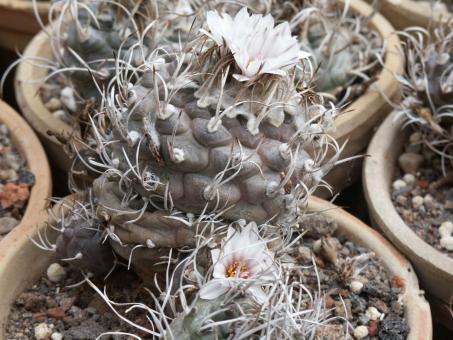 Turbinicarpus macrochele §