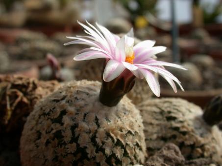Turbinicarpus valdezianus §