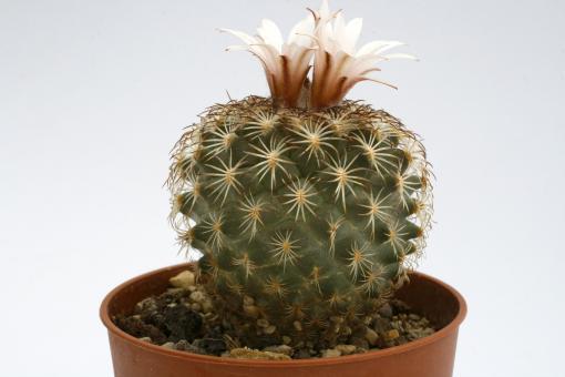 Turbinicarpus ysabelae §