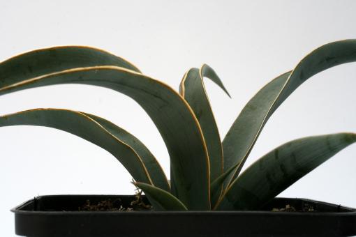 Yucca baccata *1^ Kaibab Plateau, AZ, USA