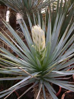 Yucca rigida *3^